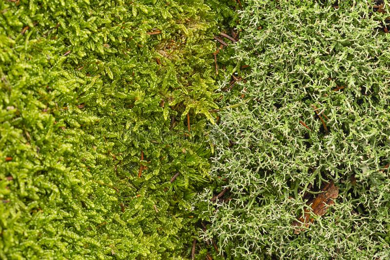 Moss and lichen texture close up. In the detail royalty free stock photos