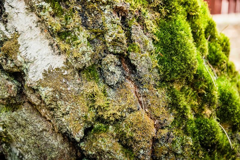 Moss and lichen on a tree bark close up royalty free stock image