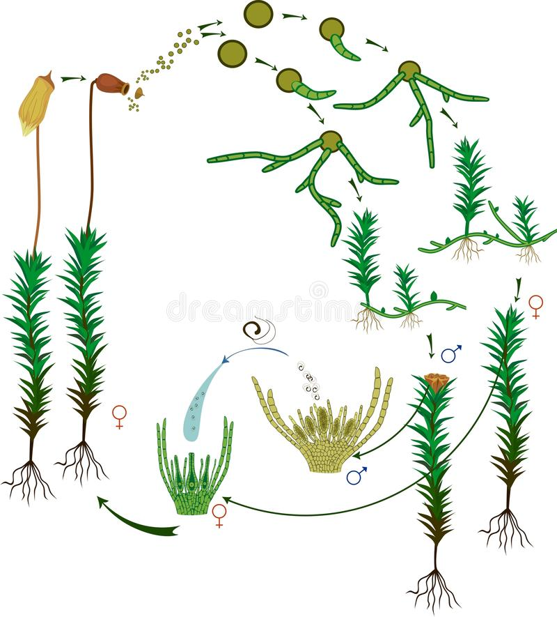 Moss life cycle. Diagram of a life cycle of a Common haircap moss. Or Polytrichum commune royalty free illustration
