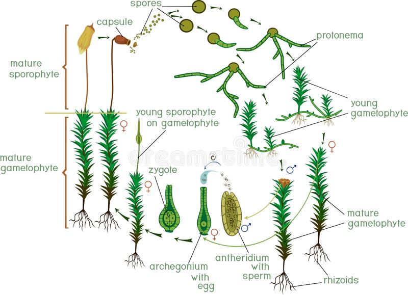 Moss life cycle. Diagram of life cycle of Common haircap moss Polytrichum commune. With titles vector illustration