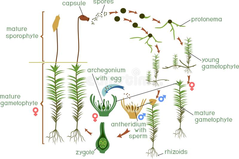 Moss life cycle. Diagram of life cycle of Common haircap moss Polytrichum commune. With titles royalty free illustration