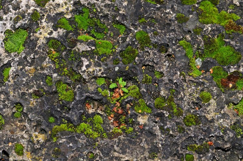Moss on a limestone wall. Green clusters of moss growing on ancient limestone wall stock photo