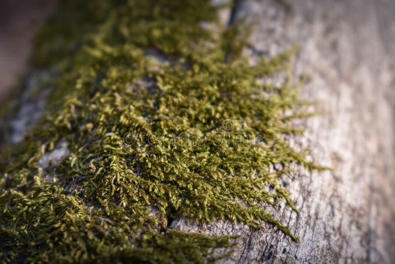 Moss on a log. Moss texture. Moss on a log.Green moss on a fallen log stock images