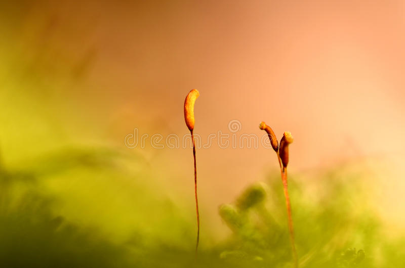 Moss. Macro stalks moss in the spring forest stock photo