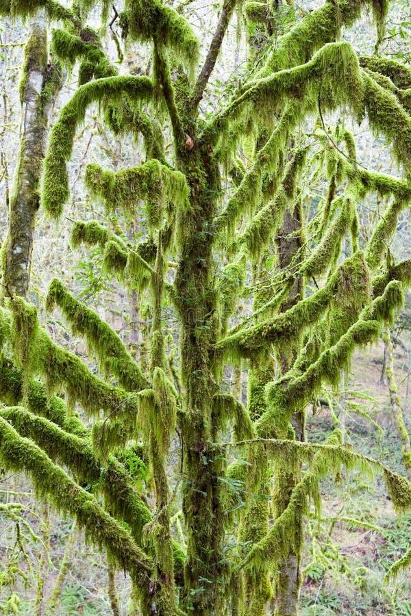 moss objętych drzewo zdjęcia stock