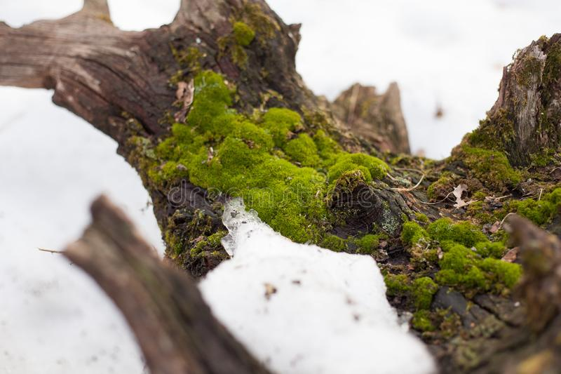 Moss on an old tree stump. Green moss on an old tree stump in the forest stock photos
