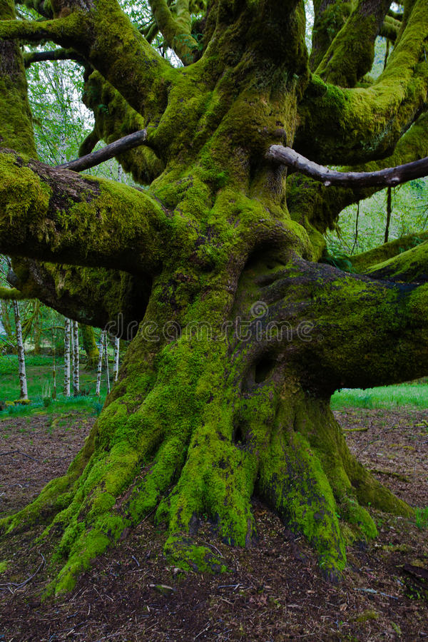 Free Moss On Maple Tree Trunk In A Rain Forest Stock Photos - 13047473