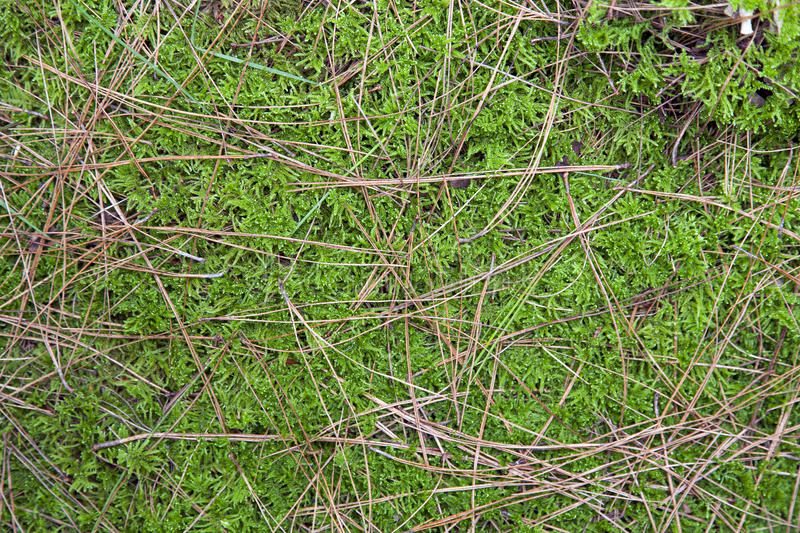 Moss And Pine Needles Background Royalty Free Stock Images
