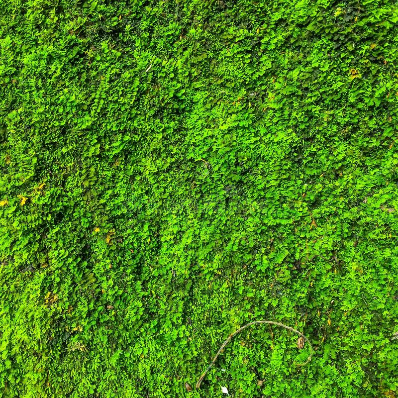 Moss Plant Background verde imagen de archivo