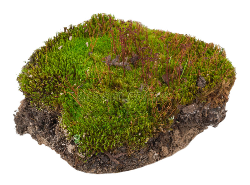 Moss: Polytrichum commune. On white background stock image
