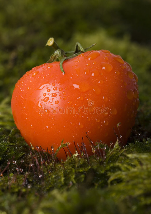moss pomidorów fotografia royalty free