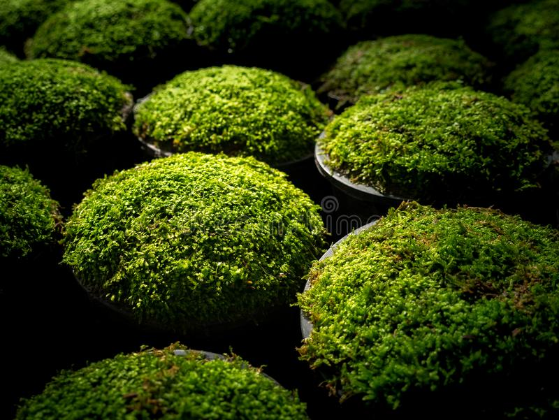 Moss Put in a Pots in a Row. The Moss Put in a Pots in a Row Preparing to Sale royalty free stock photo