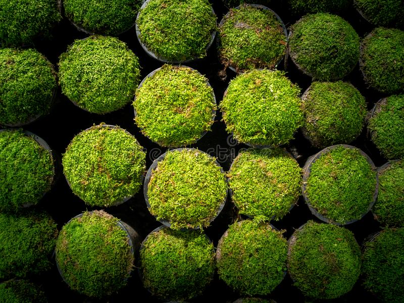 Moss Put in a Pots in a Row. The Moss Put in a Pots in a Row Preparing to Sale stock photos