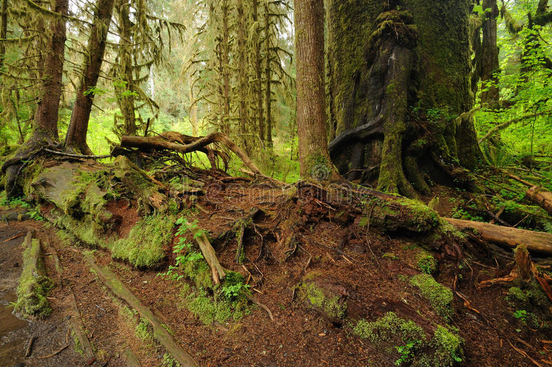 Moss of rain forest royalty free stock image