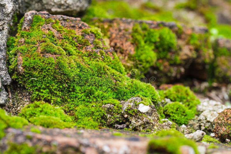 Moss on the rock. Close-up of green moss texture on the rock royalty free stock photos