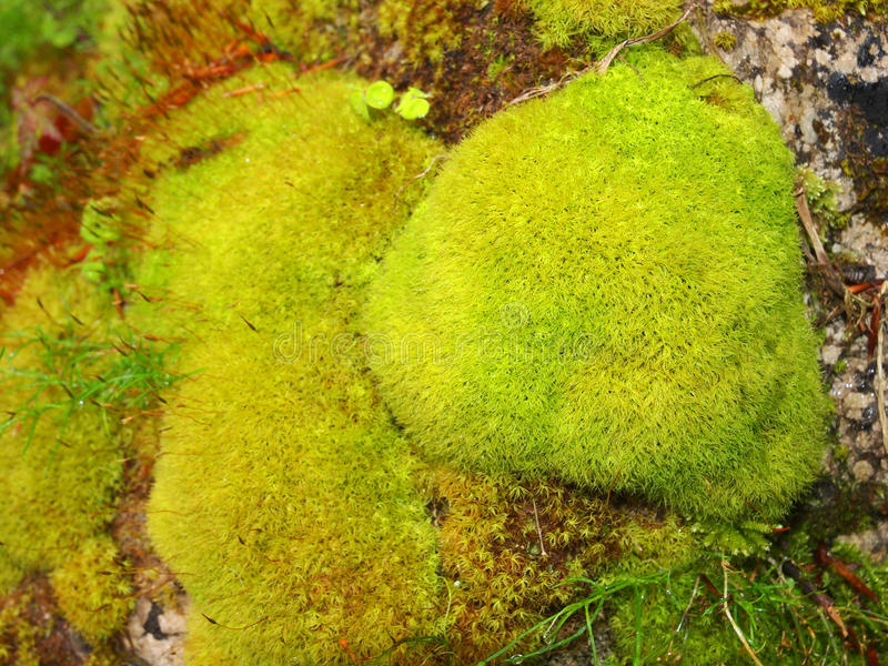 Moss on a rock royalty free stock photo