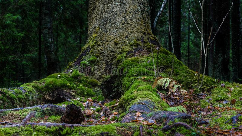 Moss on the roots royalty free stock images