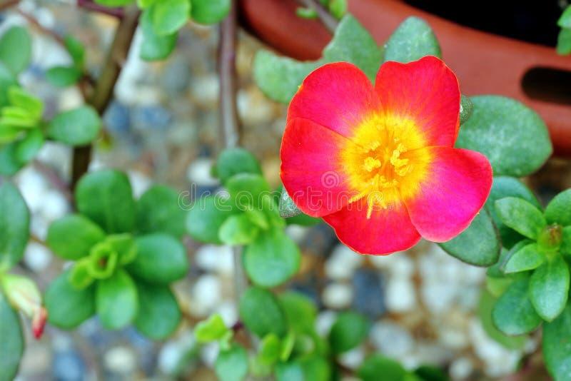 Moss Rose royaltyfri bild