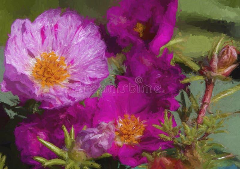 Moss Rose Blossom magenta abigarrado del rosa y blanco fotografía de archivo libre de regalías