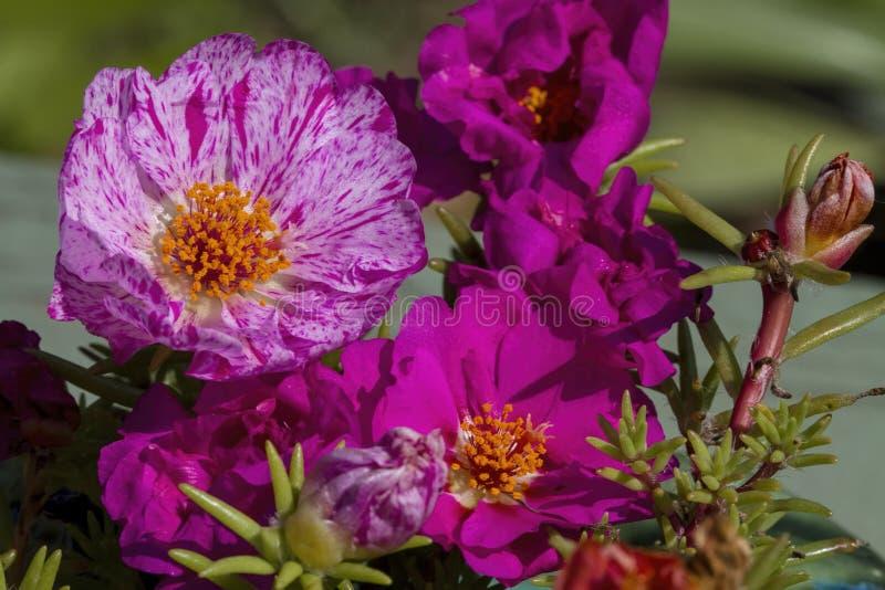 Moss Rose Blossom magenta abigarrado del rosa y blanco foto de archivo