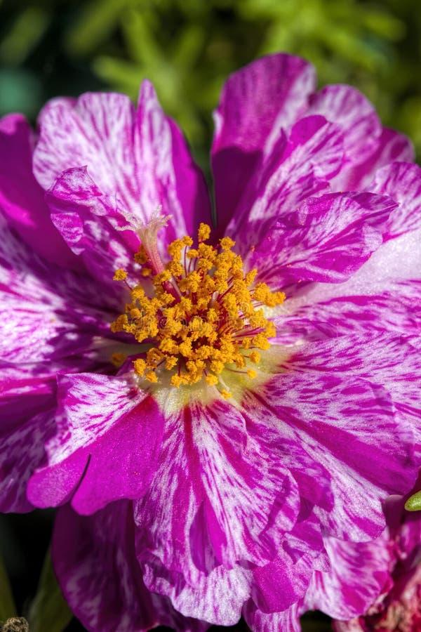 Moss Rose Blossom variado del rosa y blanco imagen de archivo