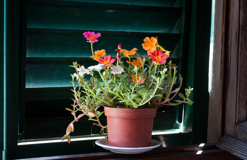 Moss Rose flower in a window. Portulaca grandiflora -Moss Rose is a flowering plant in the family Portulacaceae, native to Argentina, southern Brazil, and stock images