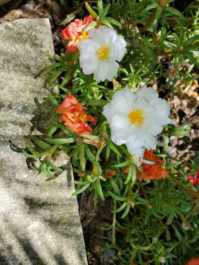 Moss Rose Garden Mix foto de archivo libre de regalías