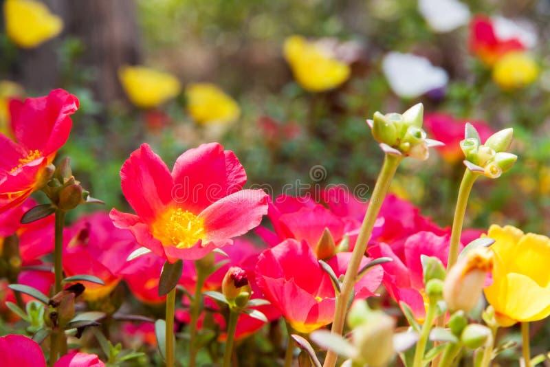 Moss Rose gul och röd färg fotografering för bildbyråer