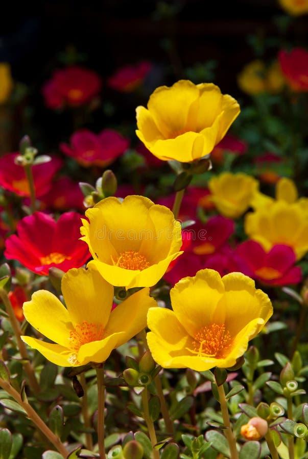 Moss Rose gul och röd färg i bakgrund arkivfoto