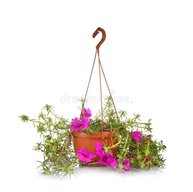 Moss Rose Portulaca Grandiflora stockfoto