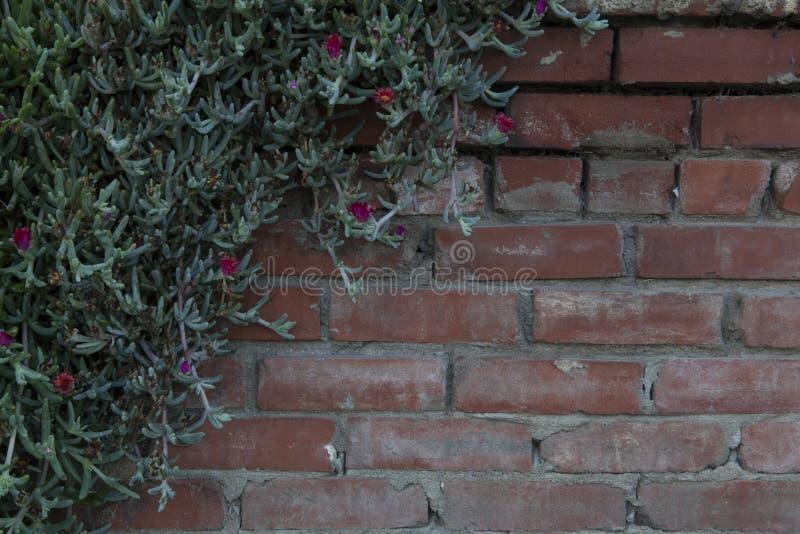 Moss Rose Vine avec des fleurs s'élevant sur le mur de briques photographie stock