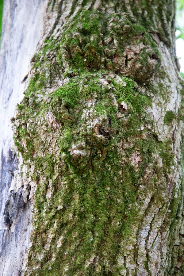 Mossy face of a tree royalty free stock photo