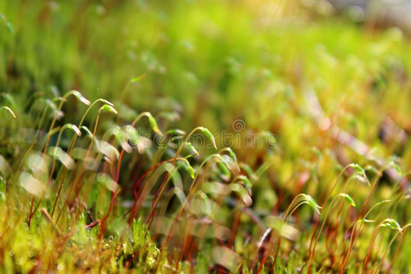 Moss  sprouts, green, natural, in natural conditions in the daytime, close-up, with a blurred background. Moss sprouts, green, natural, in the forest, in stock images