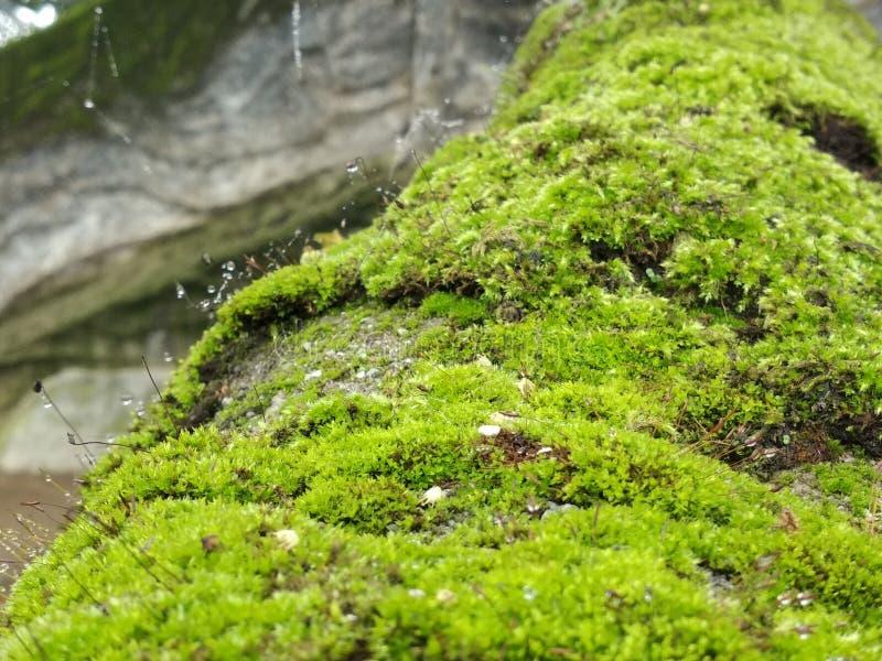 moss on stones stock image