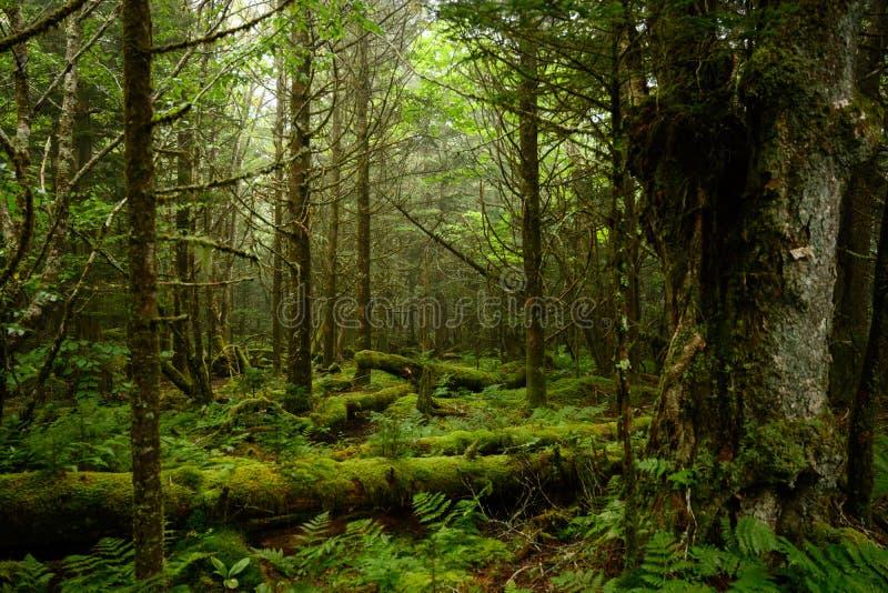 Moss täckt skogsmark i Fog arkivbilder