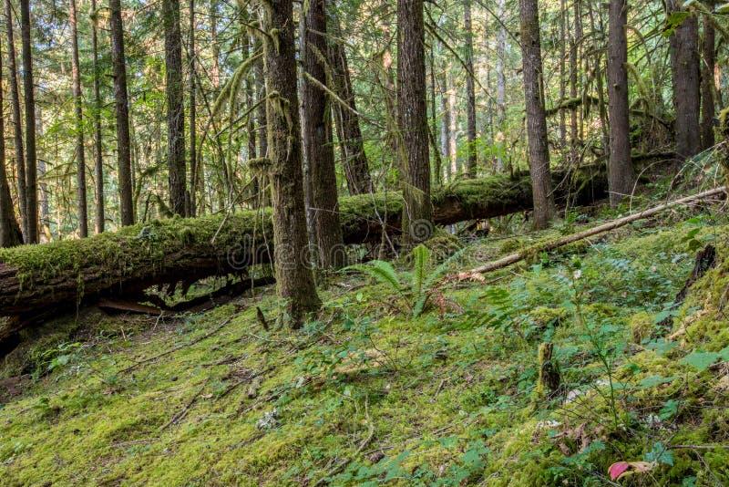 Moss Takes Over Oregon Forest arkivbild