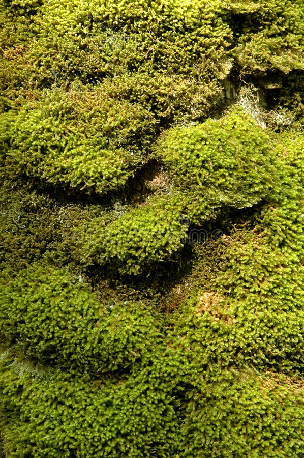 Moss texture royalty free stock photo