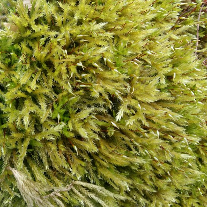 Moss texture royalty free stock images