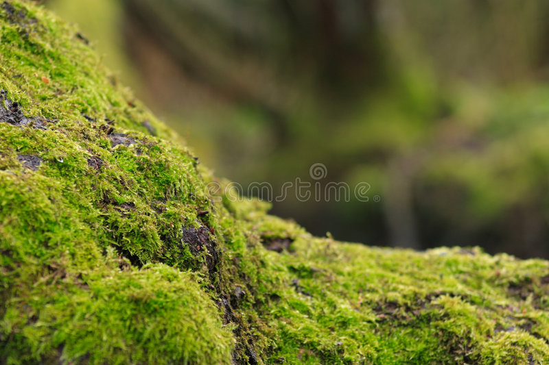 Moss on tree. Detail of moss on a tree trunk with moss-covered background royalty free stock photography