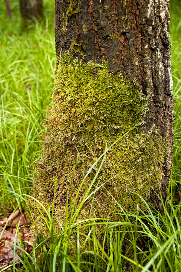 Download Moss on the tree stock image. Image of plant, trunk, wildlife - 21415955