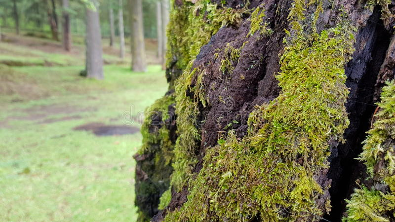 Moss in tree stock images