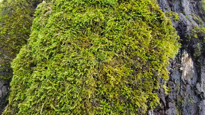 Moss in tree 2 royalty free stock photo