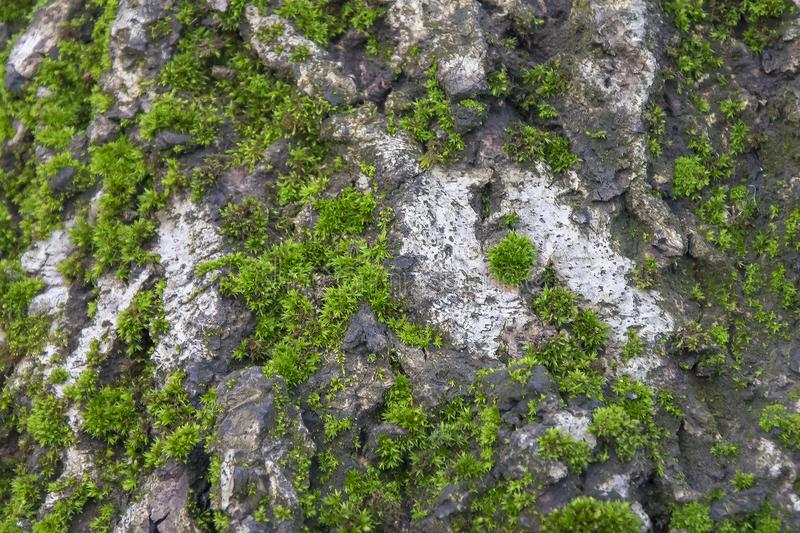 Moss on tree background. Old damp wood with green mossy texture. stock images