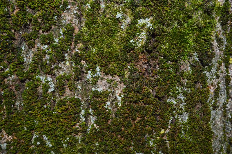 Moss on the tree royalty free stock images