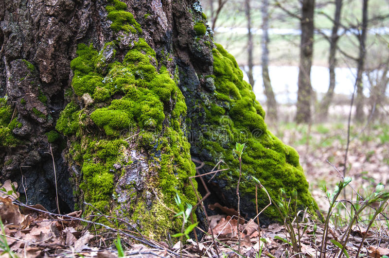 Moss on the tree roots stock photography