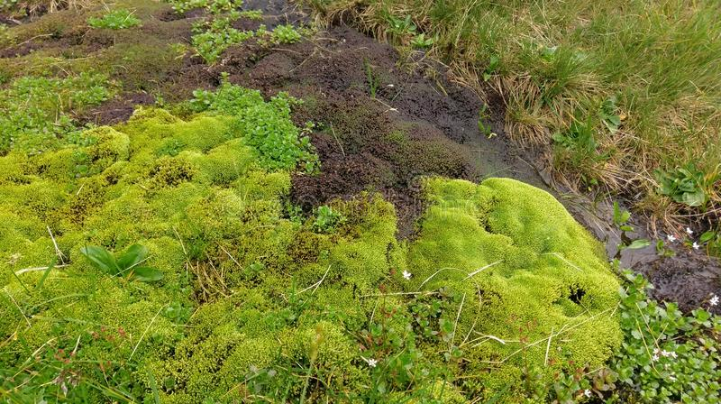 Moss in Valea Rea Iezer. Moss in the Lake Bad Valley (Valea Rea Iezer) in the Fagaras mountains in Romania royalty free stock images