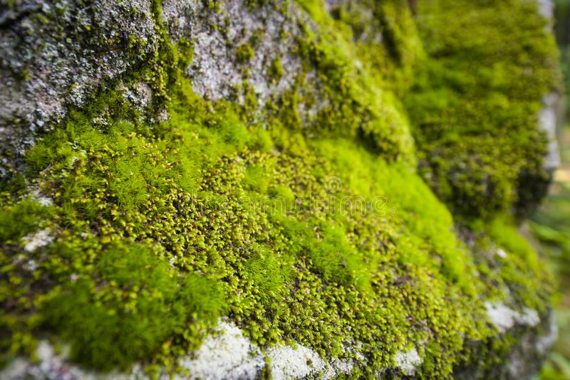 Moss variety on rock wall. Moss variety growing on rock wall royalty free stock photos