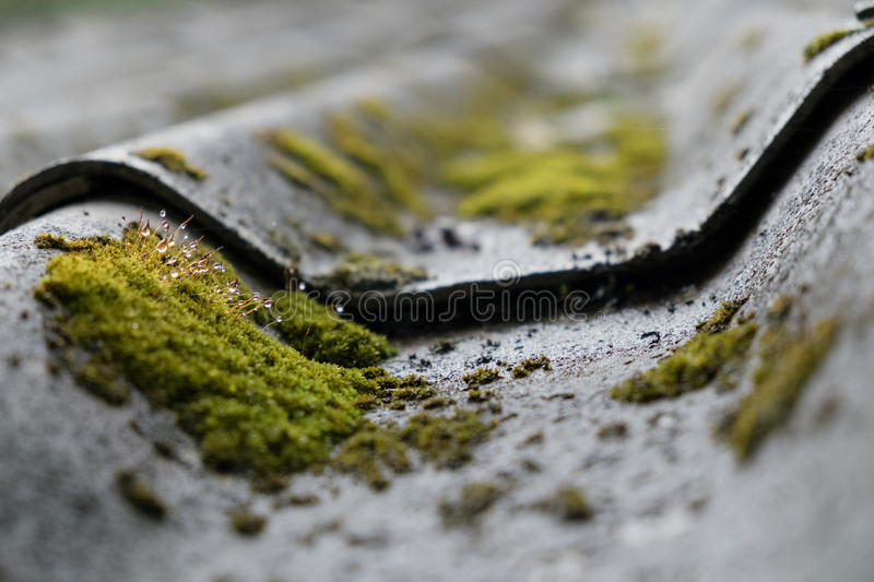 Moss and water drop growing on the roof tile stock photo