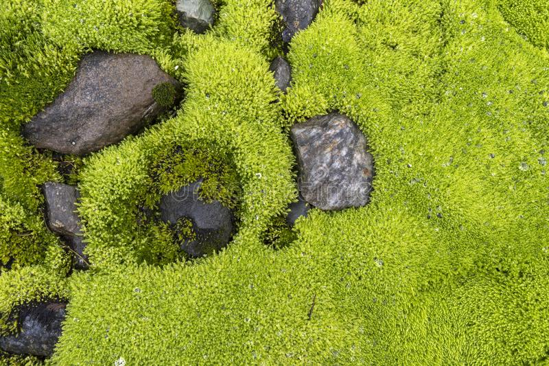 Moss with water drops stock photography