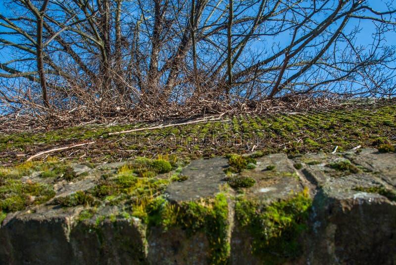 Mossa och gröna alger på tegelplattataktegelplattor arkivfoton